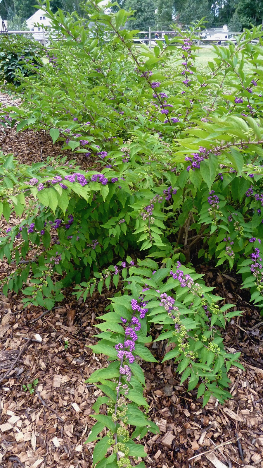 What is the bush with bright purple berries blooming at the Community Center?