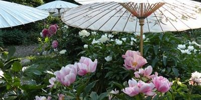 Attractive Field Trip: Cricket Hill Garden (Peony Heaven)