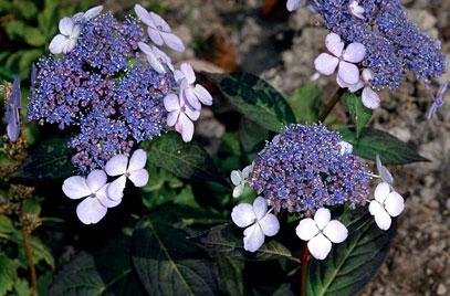 H. serrata Bluebird