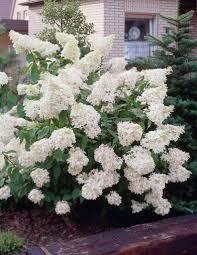 H.grandiflora.paniculata