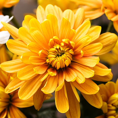 November-Chrysanthemum-2