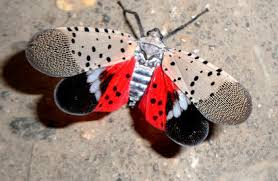 Hort Report: Beware the Spotted Lanternfly