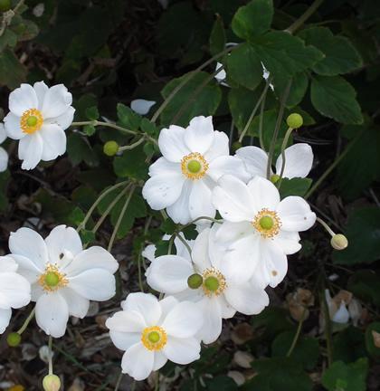 anemone_japanese hybrid 5x6