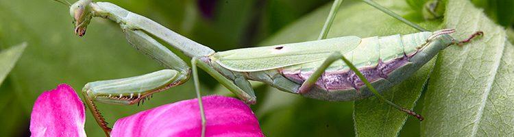 Beneficial Garden Bugs