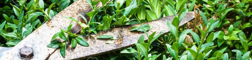 Hort Report:  Boxwood Pruning