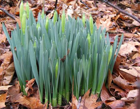 daffodilsemerging