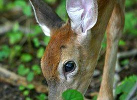 Deer Deterrent