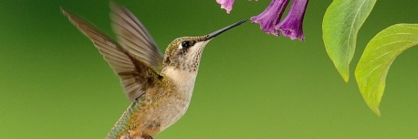The Hummingbirds Are Coming…