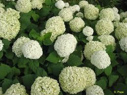 hydrangea.aborescens.Annabelle