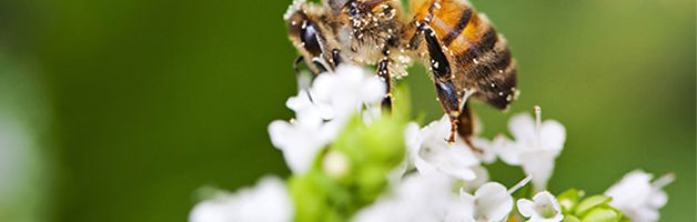 Four Facts About our Native Bees