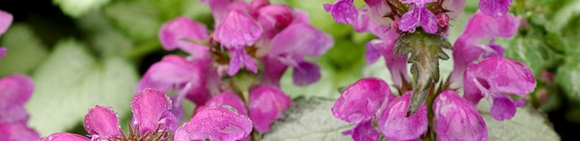 Perennial Flowers for Shade