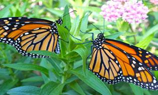Help the Monarchs