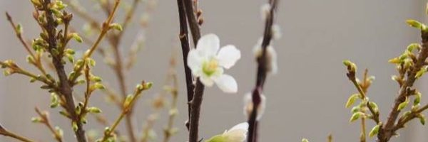 Flower Show Prep: Forcing Branches