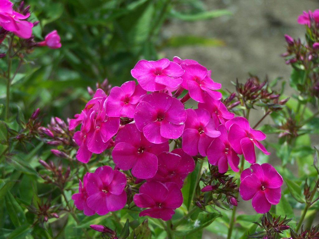 phlox_hot_sept_pink_1