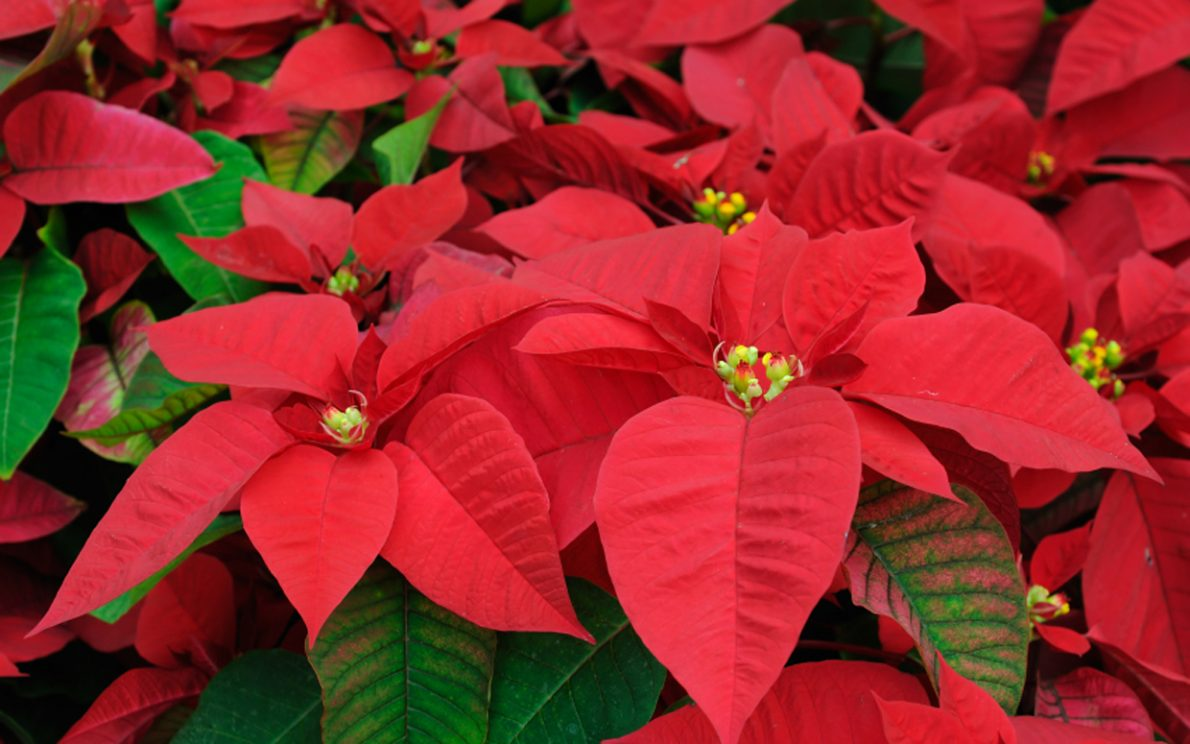 Alert: Plants Can Harm Your Pets This Holiday Season