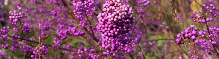 Fall Tips for Dividing, Container Planting and Colorful Shrubs