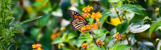 A Tribute To The Monarch Butterfly